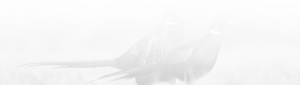 Black & White pheasant photo